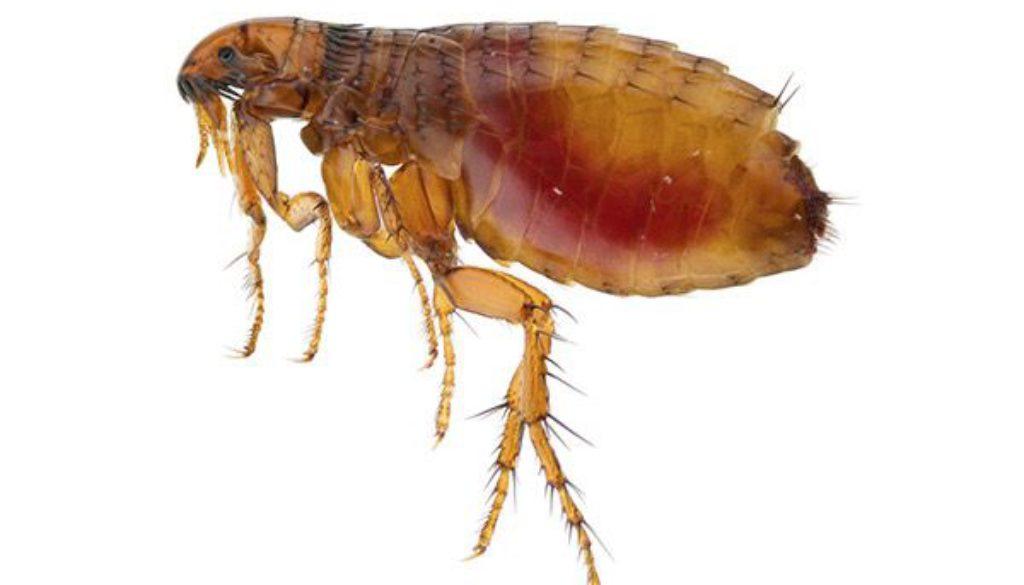 Como eliminar las pulgas definitivamente 7 pasos el - Como erradicar las pulgas ...